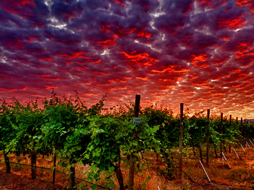 Vineyard Dawn